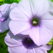 Convolvulus flowers — Stock Photo #34030611