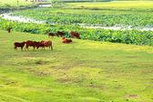 Vacas que pastam em um campo — Fotografia Stock