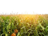 Cornfield — Stock Photo
