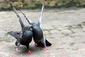 Paar van duiven — Stockfoto