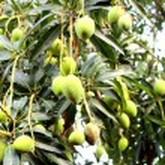 The Mango — Stock Photo #35889071