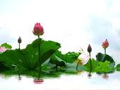 Lotus pond — Stock Photo