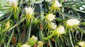 Dragon flower — Stock Photo