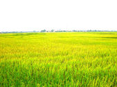 Paddy field — Stock fotografie