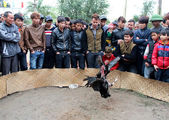 People see cockfighting — Stock Photo