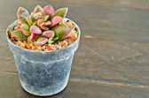 Succulents -Echeveria runyonii Rose — Stock Photo