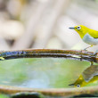Oriental White-eye bird (Zosterops palpebrosus) — Stock Photo