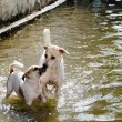 Постер, плакат: Two dogs playing in flood