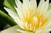 Beautiful yellow lotus blossom — Stock Photo