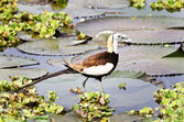 Bird (Pheasant-tailed Jacana ) , Thailand — Stock Photo