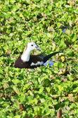 Bird (Pheasant-tailed Jacana ) , Thailand — Stock fotografie