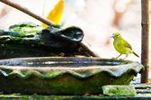 Hnědá throated sunbirdu — Stock fotografie