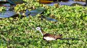 Bird (Pheasant-tailed Jacana ) , Thailand — Zdjęcie stockowe