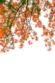 Flame Tree or Royal Poinciana Tree — Stock Photo