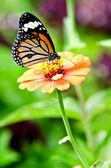 Monarch motýl na květině cínie — Stock fotografie