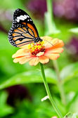 Monarch butterfly on Zinnia flower — Stock Photo