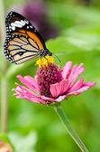 Monarch butterfly on Zinnia flower — Foto Stock
