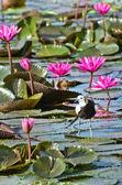 Bird (Pheasant-tailed Jacana ) , Thailand — Stockfoto