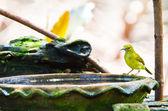 布朗喉太阳鸟 — 图库照片