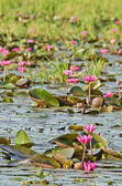 The lake of pink water lily — Stock Photo