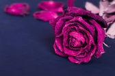 Secado muerto rosa, rosa — Foto de Stock