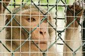 Sad monkey caged — Stock Photo