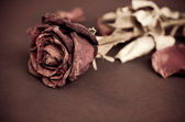 Dried rose, Dead rose — Stock Photo