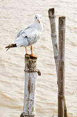 Seagull hold on bamboo — Stock Photo