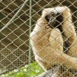 Pileated gibbon ( Hylobates pileatus ) — Stock Photo
