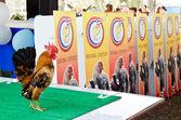Serama contest in Thailand. — Stock Photo