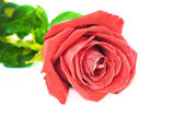 Single red rose flower isolated on white background — Stock Photo