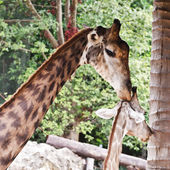 Close up shot of two giraffes — Stock Photo