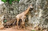 Portrait of giraffe — Stock Photo