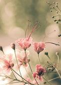 Peacock flowers — Stock Photo