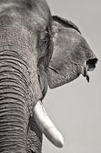 Elefante asiático — Foto de Stock