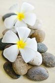 Flor de frangipani blanco y amarillo — Foto de Stock