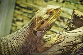 Bearded dragons (pogona vitticeps) — Stock Photo