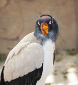 King Vulture — Stock Photo