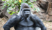 Gorilla making a serious face — Stock Photo