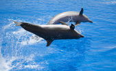 Two dolphins performing a show — Stock Photo