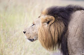 African lion in the savanna — Stock Photo