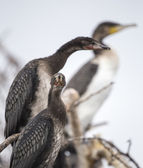 Long tailed cormorants - Reed cormorants — Stock Photo