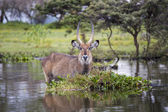 Water Buck at the Naivasha Lake in Kenya — Stock Photo