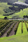 Waiheke Island Vineyard — Stock Photo