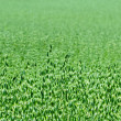 Green oat field in the summer — Stock Photo