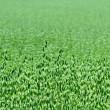 Green oat field in the summer — Stock Photo