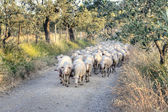 Tuscan landscape with a herd of sheep — Stock Photo