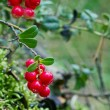 Closeup of red lingonberries — Stock Photo