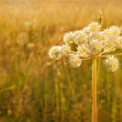 Stock Photo: Closeup of hogweed with painterly textured editing