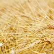 Closeup of ripe barley — Stock Photo